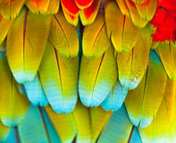 Colorful Macaw  Feather Royalty Free Stock Photos