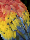 Colorful Macaw Feathers. Closeup of the feathers of a Macaw in Antigua, Guatemala are the primary colors of red, yellow and blue Royalty Free Stock Photos