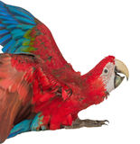 Colorful macaw isolated on the white background Stock Photo