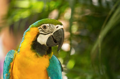 Colorful macaw in the nature Royalty Free Stock Photos