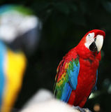 Colorful Macaw Parrot Stock Photo