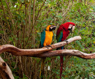 Colorful macaw parrots Stock Photos
