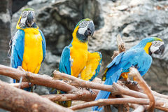 Colorful macaw parrots bird on a tree branch. Colorful macaw parrots bird on a tree branch with stone wall background royalty free stock photography
