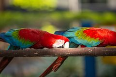 Colorful macaw parrots eating from feeders prepared for them. outside photo. Colorful macaw parrots eating from feeders prepared for them royalty free stock photography