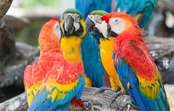 Colorful of macaw parrots Royalty Free Stock Photos