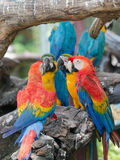 Colorful of macaw parrots Royalty Free Stock Images
