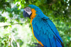 Colorful Macaw relax action against natural background Stock Photos