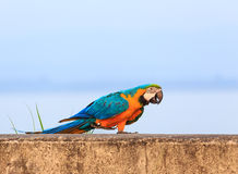 Colorful macaw Royalty Free Stock Images