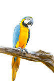 Colorful macaw on the tree Royalty Free Stock Photography