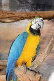 Colorful Macaw on tree branch. Blue and Yellow colors Macaw on tree branch Royalty Free Stock Photo