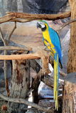 Colorful Macaw on tree branch. Blue and Yellow colors Macaw on tree branch Stock Images