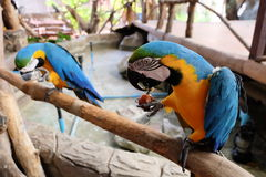 Colorful Macaw on tree branch having food. Blue, Yellow and Green colors Macaw on tree branch Royalty Free Stock Images
