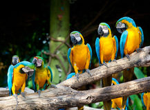 Colorful macaws. Sitting in a tree Stock Photos