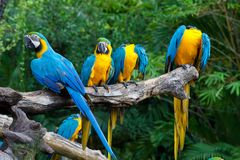 Colorful macaws. Sitting in a tree Royalty Free Stock Image