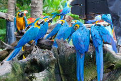 Colorful macaws. Sitting in a tree Royalty Free Stock Photo