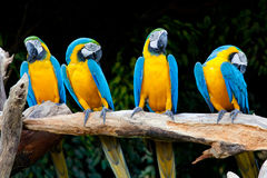Colorful macaws. Sitting in a tree Royalty Free Stock Photos