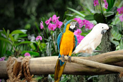 Colorful macaws. Close up of Colorful macaws Royalty Free Stock Image