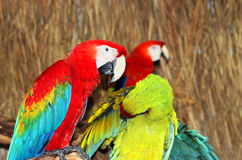 Colorful Macaws. On the branch Stock Photos