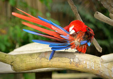 Colorful macaws Royalty Free Stock Photography