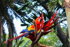 Colorful Macaws from Colombia royalty free stock image