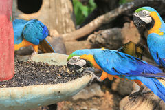 colorful macaws eating seeds Stock Image