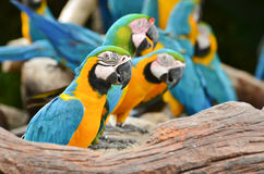 Colorful Macaws in the nature. Colorful Macaws on the branch in the nature Stock Image