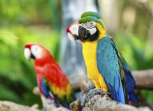 Colorful macaws. A pair of colorful macaws perched on a tree branch Royalty Free Stock Images