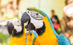 Colorful macaws in the park. Wild birds Royalty Free Stock Photo