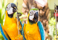 Colorful macaws in the park. Wild birds Royalty Free Stock Image