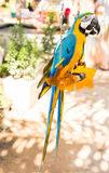 Colorful macaws in the park. Wild birds Stock Image