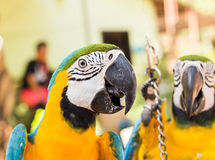 Colorful macaws in the park. Wild birds Stock Photography