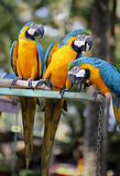 Colorful macaws. Photo large blue macaw parrots in the park Royalty Free Stock Images