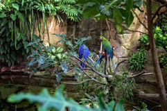Colorful macaws. Macaws in a rainforest habitat at Moody Gardens Rainforest pyramid in Galveston, Texas Royalty Free Stock Images