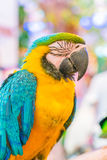 Colorful macaws Stock Photography