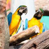 Colorful macaws sitting on log Stock Photos