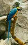 Colorful maccaw. Beautiful colorful maccaw on stick Royalty Free Stock Images