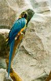 Colorful maccaw. Beautiful colorful maccaw on stick Stock Image