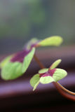 Colorful macro of big and small clover leaf Stock Photography