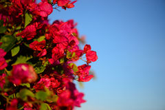 Colorful macro flowers background with blue sky. Gently pink flowers. Close up. Royalty Free Stock Photo