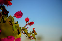 Colorful macro flowers background with blue sky. Gently pink flowers. Close up. Flowers background with a copy space. Royalty Free Stock Image