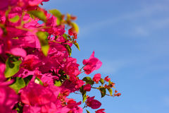 Colorful macro flowers background with blue sky. Gently pink flowers. Close up. Flowers background with a copy space. Royalty Free Stock Photos