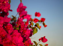 Colorful macro flowers background with blue sky. Gently pink flowers. Close up. Flowers background with a copy space. Stock Photo