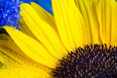 Colorful macro shot of yellow sunflower bloom with drops of water Stock Images