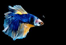 Colorful with main color of blue betta fish, Siamese fighting fish was isolated on black background. Fish also action of turn head royalty free stock image