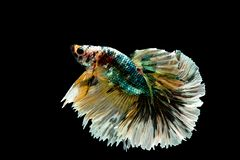 Colorful with main color of green, black and yellow betta fish, Siamese fighting fish was isolated on black background royalty free stock photo