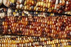 Colorful Maize Royalty Free Stock Image