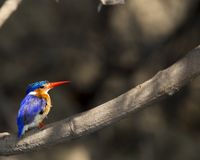 Colorful malachite kingfisher royalty free stock photography