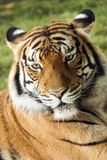 Colorful Malayan Tiger Rests On Warm Summer Afternoon Stock Photos