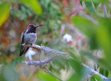 Colorful Male Anna Hummingbird Attracting Its Mate. Tiny male Anna`s Hummingbird sitting on a branch showing off his beautiful colors to his mate with stock photos