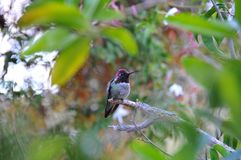 Colorful Male Anna Hummingbird Attracting Its Mate. Tiny male Anna`s Hummingbird sitting on a branch showing off his beautiful colors to his mate with stock photography
